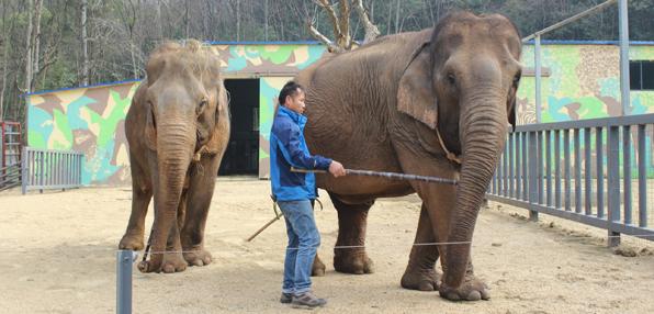 两头大象入驻诸仙洞野生动物园,景德镇市民可以近距离和它们